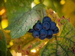 MorningSun_Grapes4.jpg