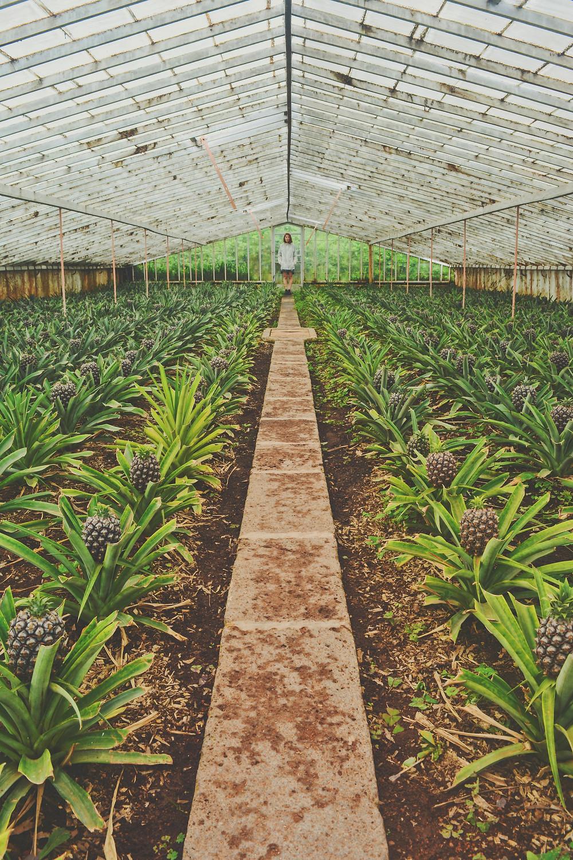 Piantagioni Arruda alle Azzorre: Ananas e non solo