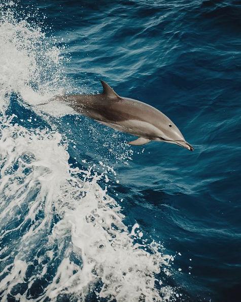 Delfini in libertà alle Azzorre avvistamento whalewatching