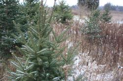 Christmas Trees - Close Up