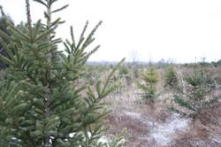 Christmas Trees - Jingle Bills