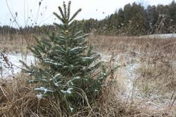 Young Christmas Trees - Douglas Fir