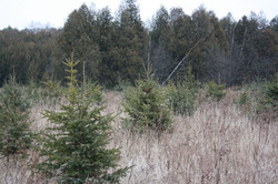 Christmas Trees - Plot 1