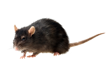 RATO PNG.png
