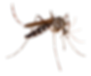 MOSQUITO PNG.png