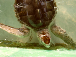 squirt-the-turtle