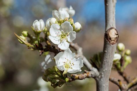 Pear blossoms in the Sinai desert