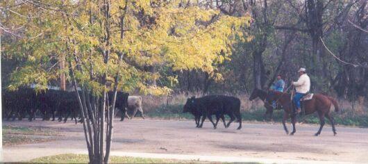 cattle2.jpg