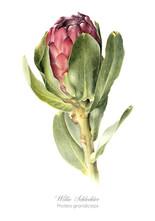 Willie Schlechter Protea grandiceps