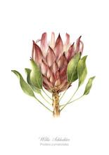 Willie Schlechter Protea cynaroides 1