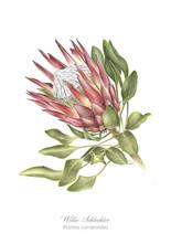 Willie Schlechter Protea cynaroides 2