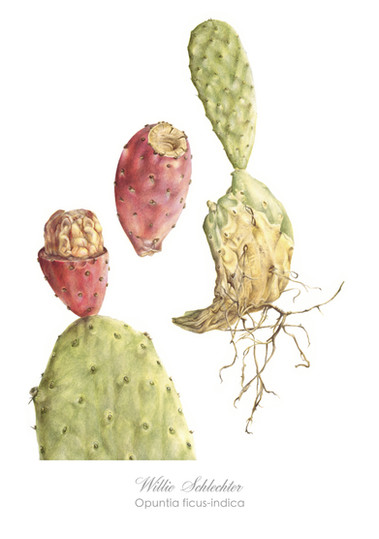 Willie Schlechter Opuntia ficus-indica 1