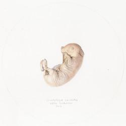Oryctolagus cuniculus I