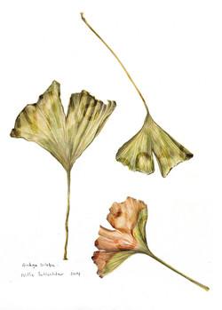 kaartjie ginkgo leaves copy
