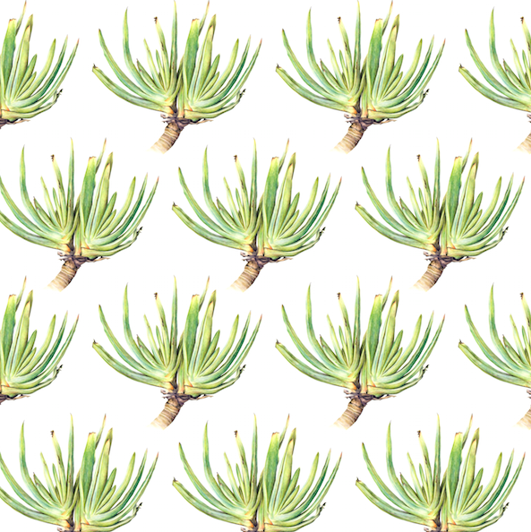 Aloe plicatilis Colour