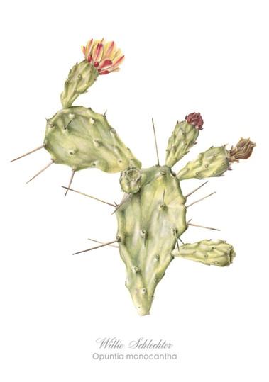 Willie Schlechter Opuntia monocantha 1