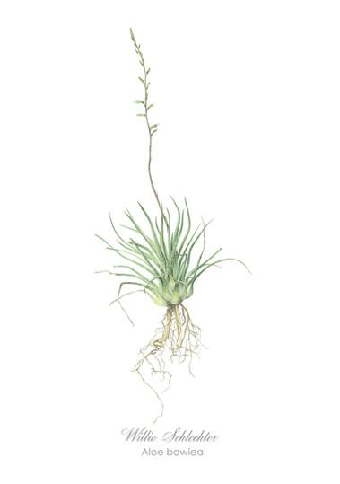 Willie Schlechter Aloe bowiea