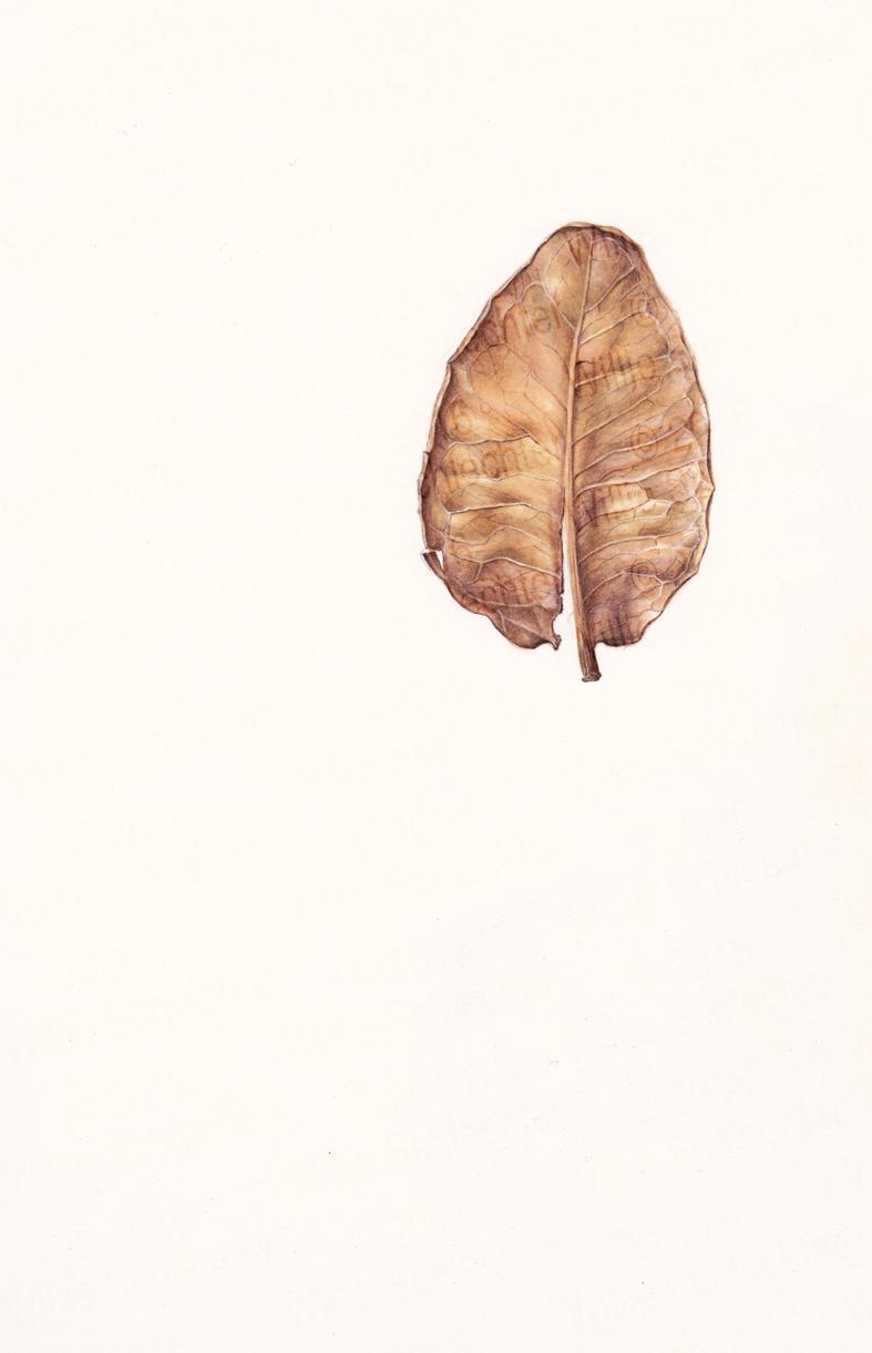 Syzigium cordatum leaf