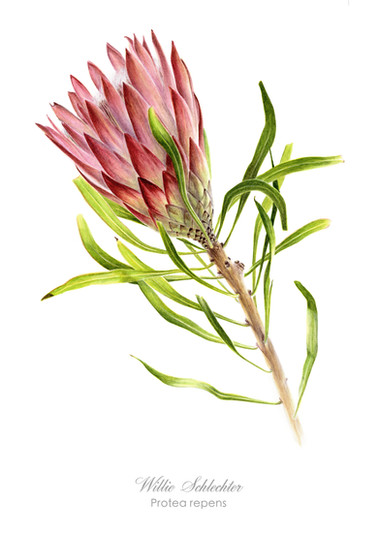 Willie Schlechter Protea repens red