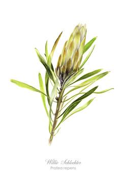 Protea repens white#2