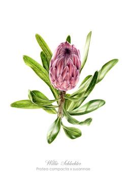 Protea compacta x susannae