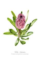 Willie Schlechter Protea compacta x susannae