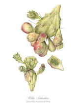 Willie Schlechter Opuntia monocantha 2