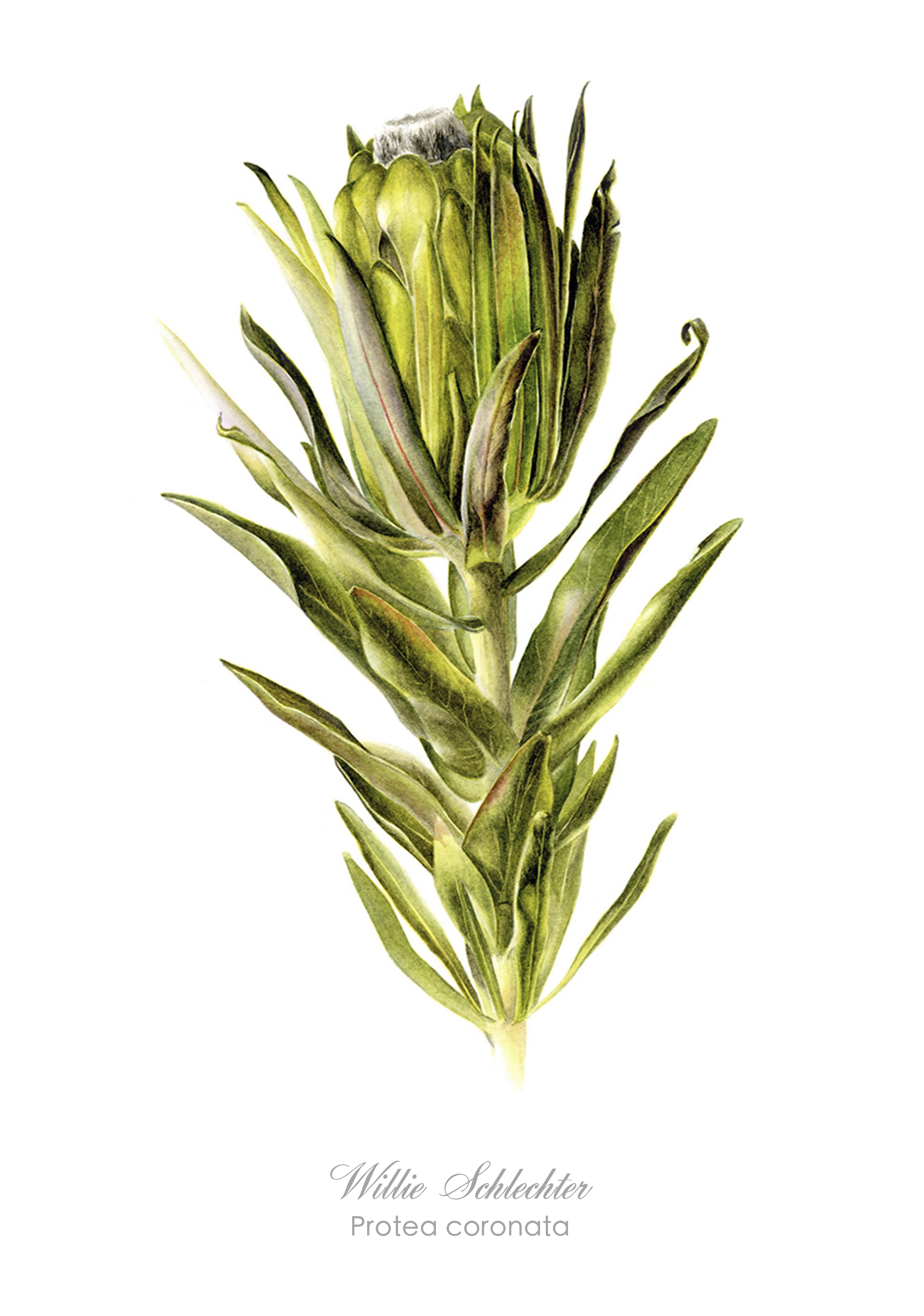 Protea coronata