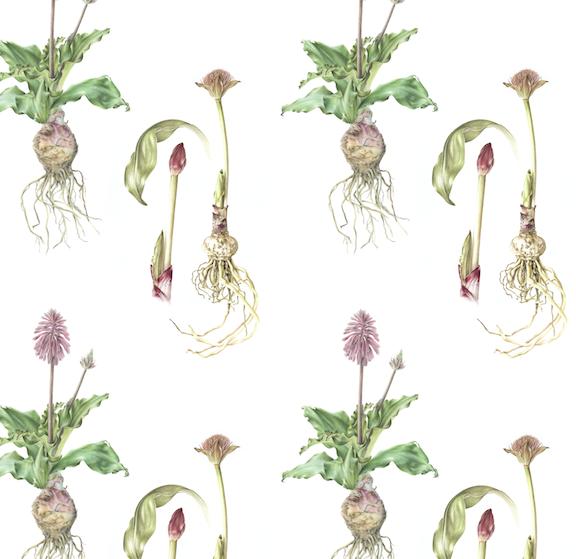 Scadoxus & Veltheimia Colour