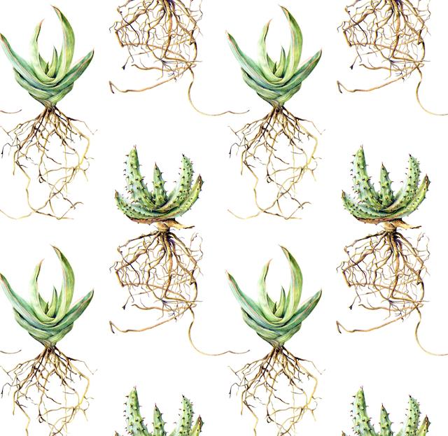 Aloe Marlothii & striata Colour