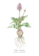 Willie Schlechter Veltheimia bracteata