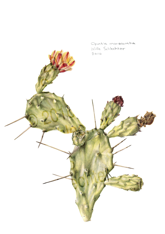 Opuntia monocantha #2