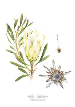 Protea repens white#1