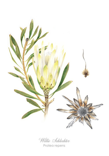 Willie Schlechter Protea suikerbossie