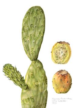 Opuntia ficus-indica #2