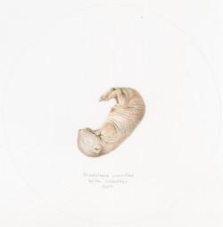 Oryctolagus cuniculus III