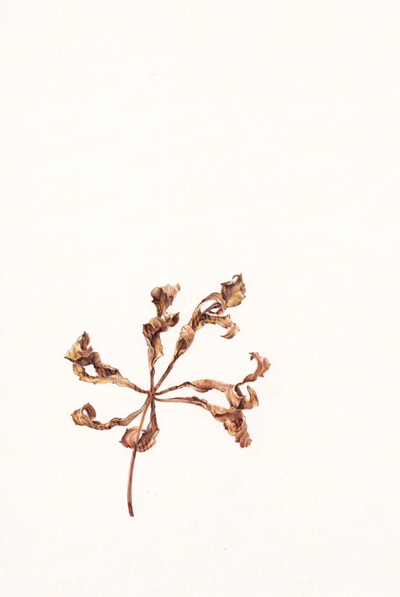 Cabbage tree leaf