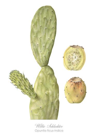 Willie Schlechter Opuntia ficus-indica 2