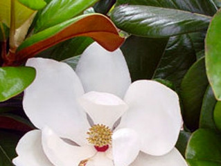 Plant Profile - Magnolia grandiflora 'Teddy Bear'