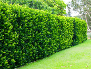 Privacy plants - how to block out your neighbour