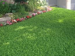 Take back your lawn: CLOVER