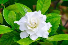 Plant profile - Gardenia