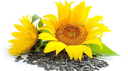 Benefits-of-Sunflower-Seeds.jpg
