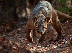 adult-male-fossa-prowling-on-deciduous-f