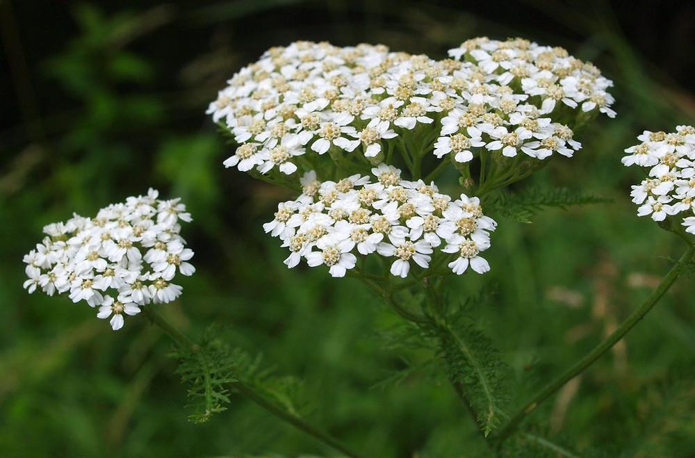 Mil-folhas (milefólio): florais que reduzem vulnerabilidades e hipersensibilidade