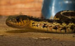 CPJ_18_Le_serpent_et_l'arraignée