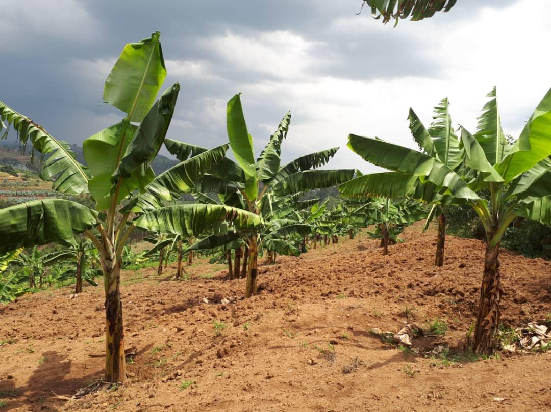 Come cresce il bananeto di Komezumurimo