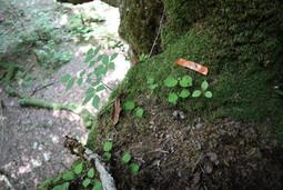 Canopy soils on the large Cercidiphyllum japonicum tree in Ashiu