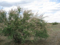 Tamarisk flowers in Loess Plateau, China