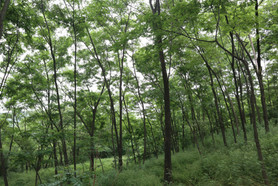 Summer at the black locust forest of Loess Plateau
